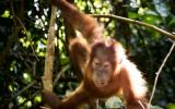 Orang Oetan jong in de jungle van Sumatra